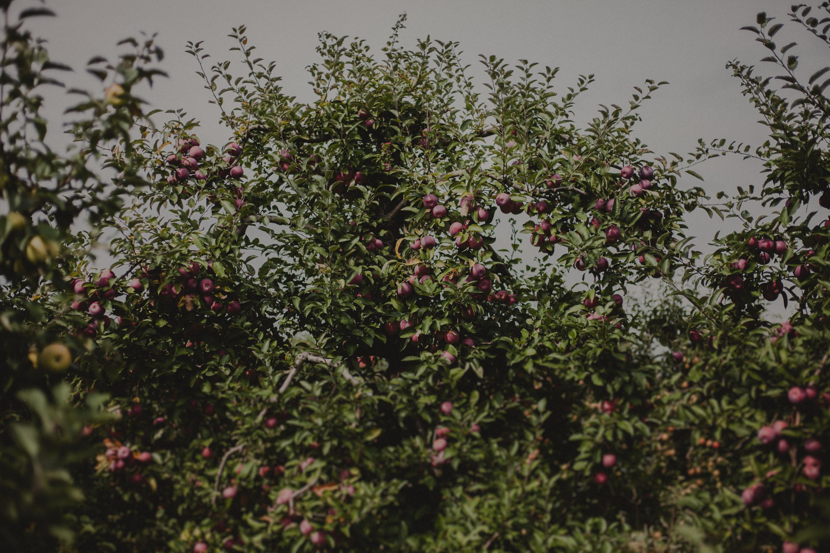 sad z jabłoniami